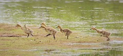Canadian Goslings so excited to get on land leaving Mum and Dad still in the pool (Bogger3.) Tags: running handheld sunnyday shouting coth fullzoom venuspool canadiangoslings canon600d tamron150x600