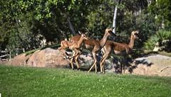 Cra de impala saltando en la Sabana de BIOPARC (Bioparc Valencia) Tags: impala sabana bioparc sabanaafricana bioparcvalencia cradeimpala verano2016