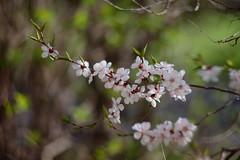 Peach Flower (by KMZ, USSR Tair 11A 1:2.8 135mm) ( Eugene Bogdanov ) Tags: manual 135mm 128 openwide 28 tair11a kmzussr