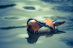 Mandarin Duck (Nomis.) Tags: bird canon eos rebel duck raw stockport mandarin colourful mandarinduck lightroom aixgalericulata plumage countrypark reddishvalecountrypark reddishvale 700d canon700d canoneos700d t5i canonrebelt5i rebelt5i sk201605267740raweditlr sk201605267740