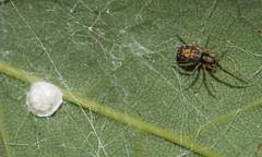 Spider and Egg Sac (Bonnie Ott...Off to Alaska!) Tags: patapscovalleystatepark daniels spider arachnid
