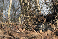 Adder (Vipera berus), Wide Angle. (Ron Fullelove) Tags: woodland photography spring time reptile snake britishwildlife adder vipera berus englanduk ronfullelove