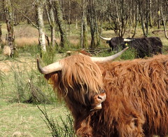 Highland Coo (Zephyr of Light Photography) Tags: wild beautiful animals outdoors photography photo ben highland coo nevis greatglen
