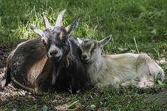 Goats at Skansen in Stockholm, Sweden 13/6 2016. (photoola) Tags: get animal sweden stockholm goat skansen djurgården photoola
