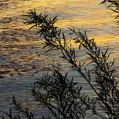 Golden reflections - Rflexions dores (monteregina) Tags: qubec canada ca quebec ripples ondulations rivire river abstract abstrait eau water watersurface surfacedeleau reflections reflets silhouettes waterabstract printemps spring rflexion leaves desing nature feuilles plante plant
