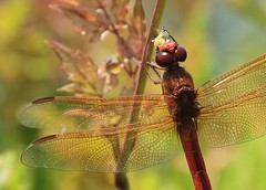 it's a bug eat bug world... (hennessy.barb) Tags: insect wings dragonfly predator reddragonfly