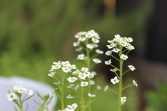 White flowers (.Danny.B [Nature Photography]) Tags: new flowers summer plants sunlight white plant flower cute green nature june yellow garden outside eos photo flickr photos album awesome small group sunny explore dirt albums cannon 2016 t5i
