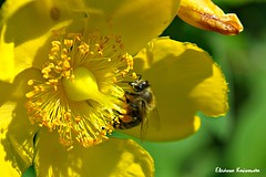 Botanical Garden Diomedes (Eleanna Kounoupa) Tags: flowers plants nature yellow garden spring insects athens bee greece attica
