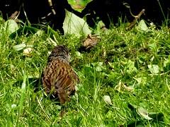 Maman... o tes-vous ! I (BrigitteE1) Tags: bird geotagged dunnock sunbath vogel juvenil heckenbraunelle accenteurmouchet mamanotesvous juvheckenbraunelle