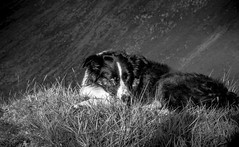 25/52  Watchful Eye (JJFET) Tags: dog mist dogs for collie sheepdog border 25 weeks 52 collies