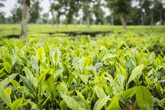 Srimangal-6126 (BohemianTraveler) Tags: asia tea bangladesh srimangal srimongol sreemangal