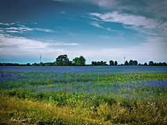 Blue meadow (Firefly Ju) Tags: flowers blue field meadow landsape