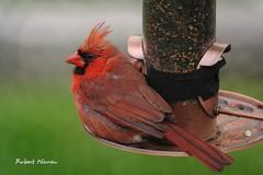 Servi sur un plateau.. / Served on a plate... (Pentax_clic) Tags: bird robert juin cardinal pentax quebec warren oiseau kx faune 2016 vaudreuil imgp9984