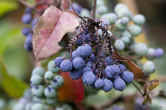 Berrily Hanging on (ThoughtSusan) Tags: summer fruit berry berries inniswood