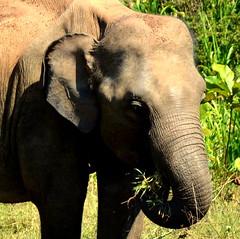 Elephants at Minneriya (Richard Whitaker) Tags: elephant forest nationalpark eating wildlife trunk srilanka minneriya