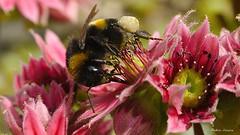 Bourdon sur Cactes (fred'eau) Tags: flower fleur plante jardin pistil panasonic pollen parc bourdon cacte gh1