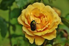 Cetonia aurata (Hugo von Schreck) Tags: macro bug makro cetoniaaurata rosenkfer tamron28300mmf3563divcpzda010 canoneos5dsr hugovonschreck