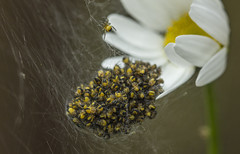 Spiders! - June 2016 (GOR44Photographic@Gmail.com) Tags: macro canon spider spiders web daisy hatfield 100mmf28 canon100mm 60d crossorbweaver gor44
