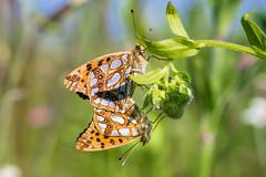 Kleine Perlmutterfalter (Issoria lathonia, Syn. Argynnis lathonia) (AndreLo2014) Tags: butterfly falter sigma105mm kleinerperlmutterfalter issorialathonia sonyilca77m2