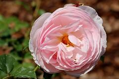 Maig_1119 (Joanbrebo) Tags: barcelona park flowers parque flores fleur blossom blumen fiori parc flors autofocus parccervantes efs18135mmf3556is canoneos70d