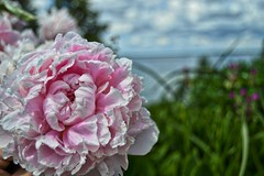 A flower with Lake Mendota in the background (Zilla27) Tags: lake wisconsin madison mendota