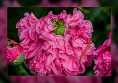 Waiting for a Sunny day ...... (scorpion (13)) Tags: summer flower color nature rain droplets blossom creative frame poppy photoart