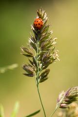 La tte en bas (regisfiacre) Tags: red macro green nature insect rouge meadow vert bugs ladybug prairie insecte coccinelle asiatique oustide exterieur