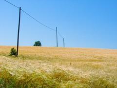 Field of wheat (Senol Demir) Tags: kastamonu field yellow outdoor wheat ngc concordians