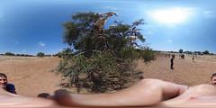 Goats grow in trees (PaulHoo) Tags: equirectangular 360degree panorama ricoh theta s maroc marocco africa animal fun goat tree desert 2016 summer nature landscape