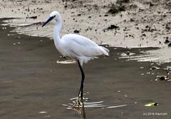 DSC_0989 (rachidH) Tags: nepal lake nature birds pokhara fewa phewa oiseaux egrets littleegret egrettagarzetta aigrettegarzette rachidh