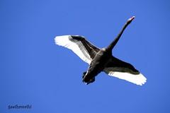 black swan in flight (geethamathi) Tags: geethamathi geethamathivanan blackswan bird