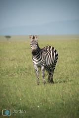 Karibu! (grimaux.jordan) Tags: morning wild sky nature look grass kenya mara zebra savannah caribou jumbo equus quagga