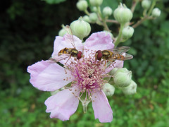Deux Syrphes ceinturs en tte  tte. (Didier Auberget Photographie) Tags: flower macro fleur fly hoverfly insecte mouche syrphidae episyrphusbalteatus syrphe ronce diptre syrphide syrpheceintur fleurderonce
