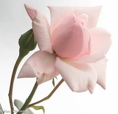 New Dawn (Hans Olofsson) Tags: pink flower rose garden blommor ros midsommar trädgård 2016 newdawn skammelstorp
