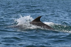 Dolphin (AMKs_Photos) Tags: nature animal canon nose photography eos scotland bottle sailing fife dolphin may reserve tourist forth dolphins 7d isle pleasure anstruther cruises attraction firth genus bottlenose nosed amk tursiops truncatus bottlenosed visitscotland of amksphotos