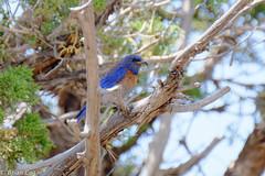 western bluebird (brianeagar) Tags: bird nature animal utah wildlife bluebird birdwatching westernbluebird sanjuancounty utahnature utahwildlife utahbird utahanimal