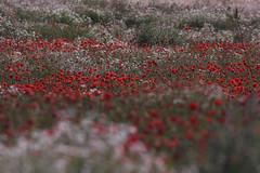Summer (Mikkelmusiker) Tags: flowers summer colors field canon landscape eos mark ii 7d usm bornholm f56l ef400mm