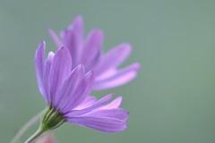 Fleurs mauves... (Lucien-Guy) Tags: flowers fleurs garden nikon focus bokeh jardin mauve d7100 nikkorafs200500mmf56eedvr
