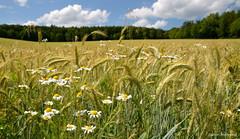 Das Getreide wird langsam reif (diwe39) Tags: felder acker getreide gerste sommer2016