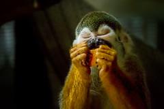 Happiness Tastes Like Oranges (John Greg Jr) Tags: ohio usa animals zoo unitedstates cleveland mammals primates clevelandmetroparkszoo commonsquirrelmonkey camera:make=nikoncorporation exif:make=nikoncorporation exif:focallength=300mm exif:aperture=56 camera:model=nikond7100 exif:model=nikond7100 exif:lens=1803000mmf3556 exif:isospeed=6400