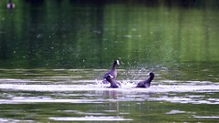 Coot (Fulica atra) (jhureley1977) Tags: birds birding coot wwt rspb fulicaatra britishbirds bbcspringwatch birdsofbritain ashutoshjhureley