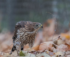 Juvenile Coopers Hawk on the ground with prey (sharp shooter2011) Tags: coopershawk