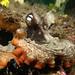 Gloomy octopus - Octopus tetricus