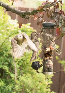 Baby starlings