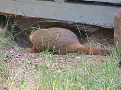 Woodchuck turning tail (Joel Abroad) Tags: woodchuck marmot groundhog rockchuck ftbridger wyoming