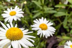 Daisies (piri198) Tags: flowers canon eos blumen daisy lightroom margarite 22mm efm eosm eosm3 lightroom6
