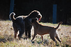 DSC_0051 (juliapee) Tags: dogs spring borderterrier dogsplaying lagotto romangolo