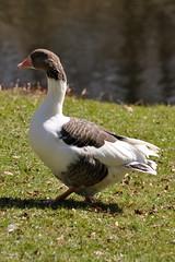 Ölandsgås / Swedish Island Goose (Anser anser domesticus) (Martin1446) Tags: bird nature island nikon natur swedish goose spotted anser domesticus fågel d90 ölandsgås