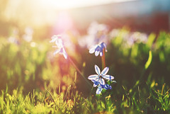 Last Spring {Explored} (jennydasdesign) Tags: flowers blue sun nature grass backlight 50mm spring dof sweden bokeh grain beautifullight lensflare sverige vr scillasiberica explored sonydslra300 dt50mmf18sam