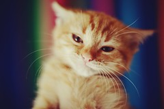Sleepy (JavierAndrs) Tags: light orange pet color luz colors beautiful face look animal cat fur nose 50mm ginger eyes nikon focus kitten soft small 14 cara dream bigotes ears colores depthoffield whiskers sleepy ojos gato gata dreamy nikkor mirada hermosa naranja mascota suave rostro pequeo pelo nariz sueo enfoque orejas pelaje soolienta d3100
